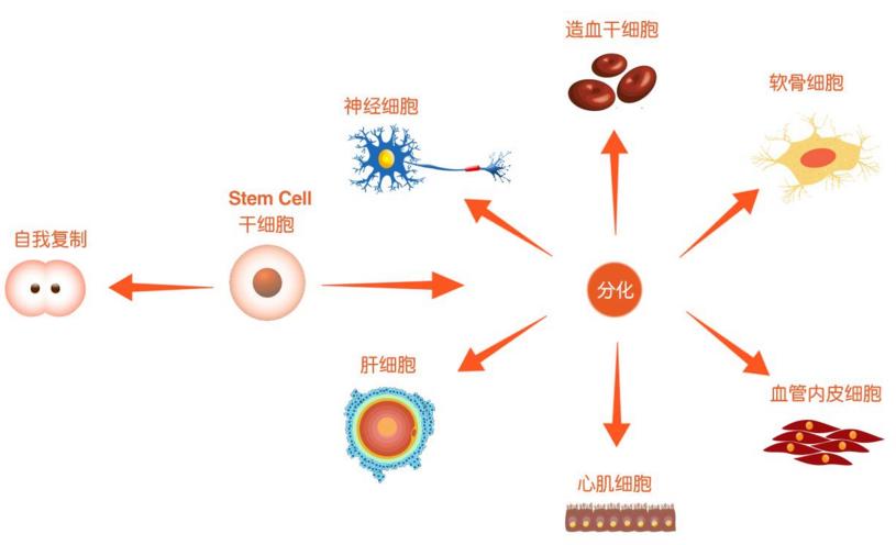 干细胞注射治疗肝衰竭安全吗?干细胞疗法真的能根治慢性肝衰竭吗?
