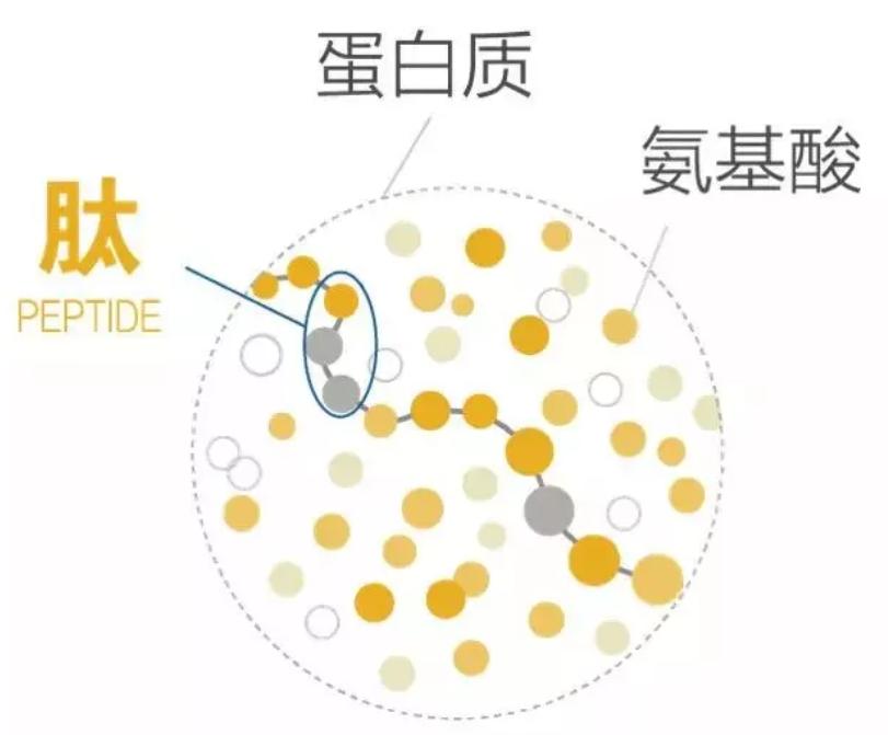 小分子肽粉为什么好吸收?人体对肽的吸收和利用机制