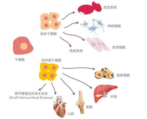 干细胞与心脑血管疾病.png